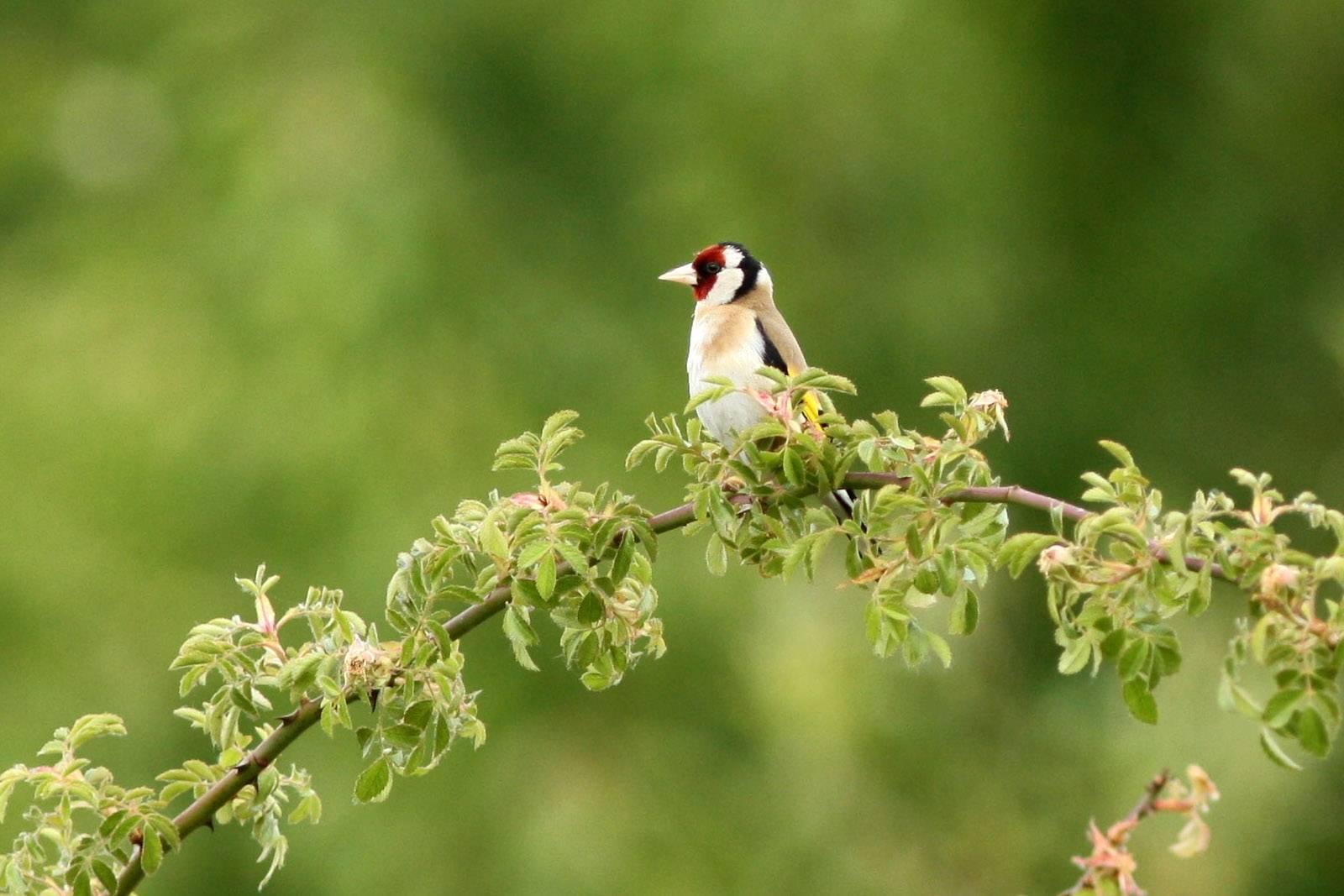 European Goldfinch (CHARDONNERET ELEGANTE)